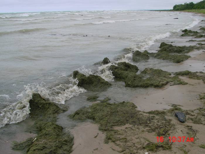 Cladophora algae washing up onto the Lake Huron shorelines has been a nuisance to Canadian beach-goers for more than a decade. Image: Todd Howell
