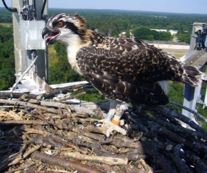 An osprey sits in its nest after a banding in 2011. (Image: Osprey Watch of Southeast Michigan)