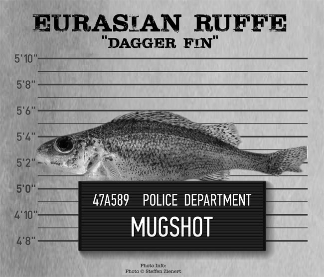 """The Eurasian Ruffe is one of the five aquatic invasive species that The Nature Conservancy has deemed the """"usual suspects"""" in the Great Lakes basin. (Image: The Nature Conservancy)"""