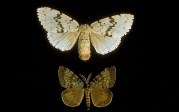 Gypsy moth (Photo: Ohio Department of Agriculture)