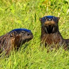 North American river otters. Image: U.S. Fish and Wildlife Service