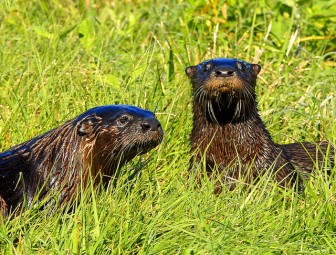 otters by USFWS