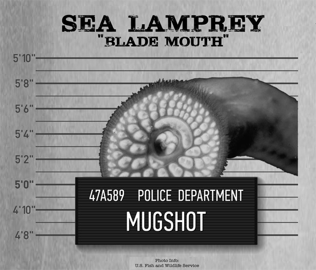"The sea lamprey, an eel-like creature that feeds on host-fish, has been named by The Nature Conservancy as one of the five ""usual suspects"" doing damage in the Great Lakes basin. (Image: The Nature Conservancy)"