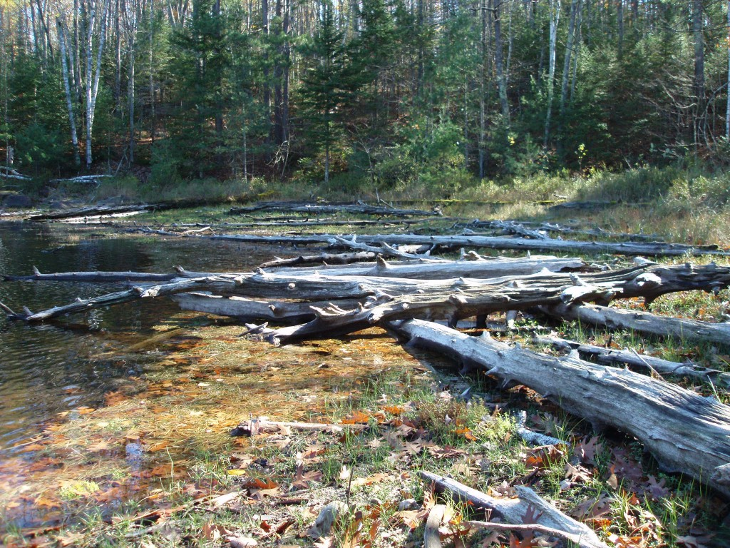 Coarse woody habitat that has mostly dried on the shore. Photo: University of Wisconsin Center for Limnology.