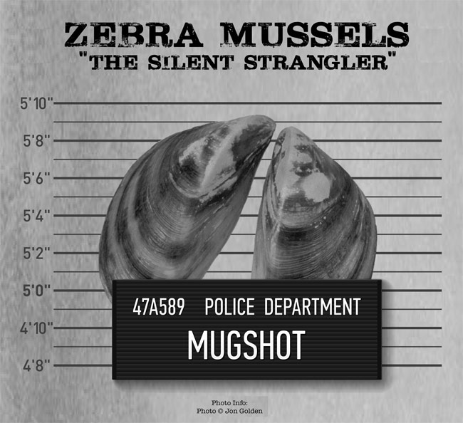a description of the invasion of the zebra mussels Invasion, reducing fresh water supplies - the zebra mussel's invasion effects.