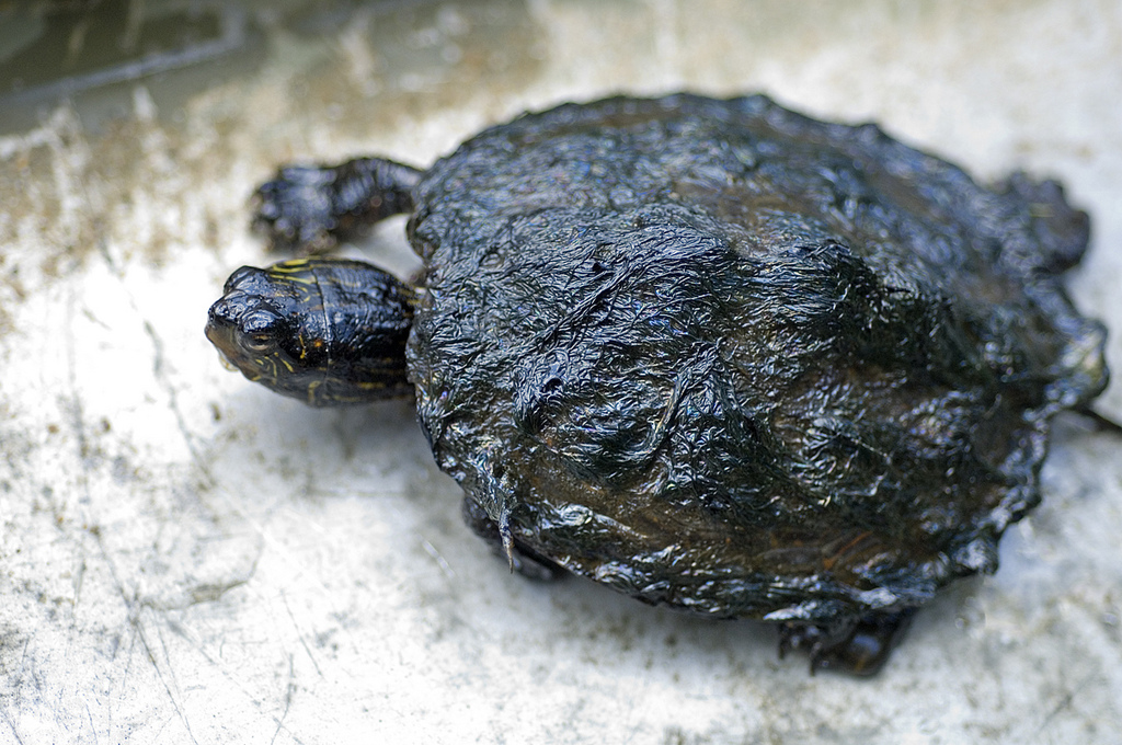 A painted turtle covered with oil from the 2010 Enbridge oil spill in Marshall, Mich. Photo: David Kenyon, Michigan Department of Natural Resources.