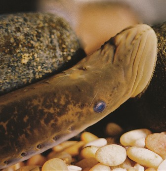 An egg-laden sea lamprey in a spawning nest and the centrally located single olfactory naris which is sensitive to male mating pheromones. Image: Charles Krueger.