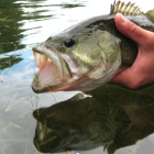 Largemouth bass. Image: Ontario Ministry of Natural Resources.