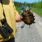 A Blanding's turtle roadside at Ostrander Point. Photo from Prince Edward County Field Naturalists.