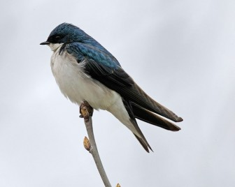 Tree swallows are the most commonly tested species. Image: Wikimedia Commons.