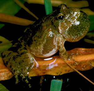 Blanchards cricket frog. Image Michigan Department of Natural Resources, Jim Harding