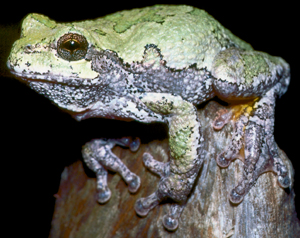 Gray Tree Frog. Image: Michigan Department of Natural Resources, Jim Harding