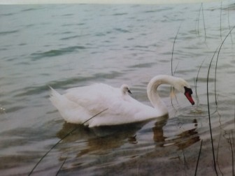 Mute swans on Hutchins Lake. Photo: Denise Grimaldi