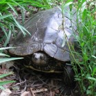 This map turtle made an appearance in a garden in Williamston, Mich. Image: Dan Slider