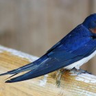 Barn swallows have a huge range, including almost all of the United States and parts of Canada. Photo: Malene Thyssen