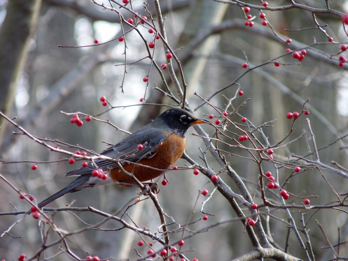 American robins, with their distinctive burnt orange plumage, are great birds to look for either in a backyard or forests. Photo: John Beetham