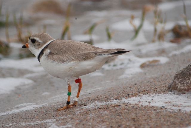 Piping plover, though small, can be aggressive towards birds of similar size. Photo: United States Fish and Wildlife Service Mountain Prairie