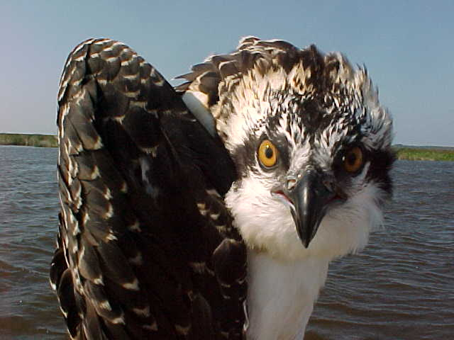 These birds take 'in your face' very seriously. Photo: United States Fish and Wildlife Service