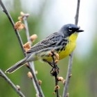 Kirtland's warbler populations are in danger since the birds only nest in Grayling, MIch. Photo: United States Fish and Wildlife Service