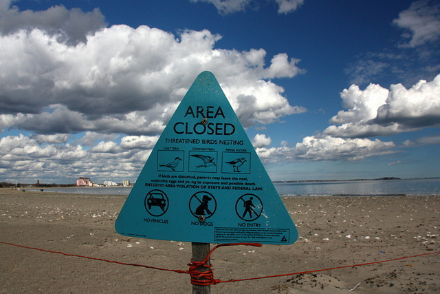A sign in Massachusettes warns beachgoers not to enter an area inhabited by nesting piping plovers. Since piping plover are a step above endangered, conservation efforts have increased to protect the birds. Photo: Bill Ilott