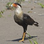 A crested caracara walks  on the sand in Costa Rica. Though these birds are naive to southern Mexico and South America, a crested caracara was spotted in Wisconsin in May. Photo: Joseph C. Boone