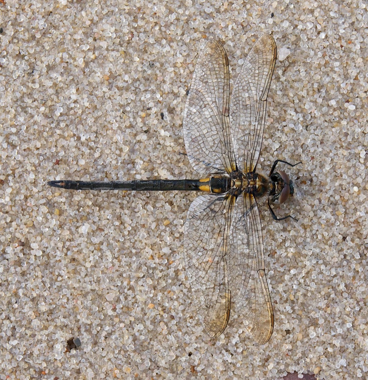 Kennedy's emerald dragonfly. Image: David Marvin
