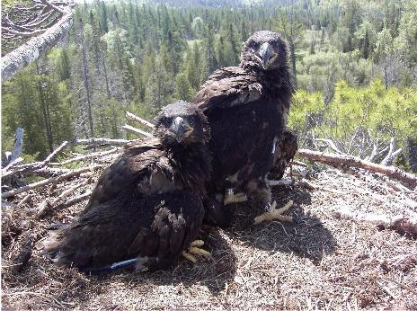 Eagle fledglings at Deer Lake. Image:  Matt Schroderus.