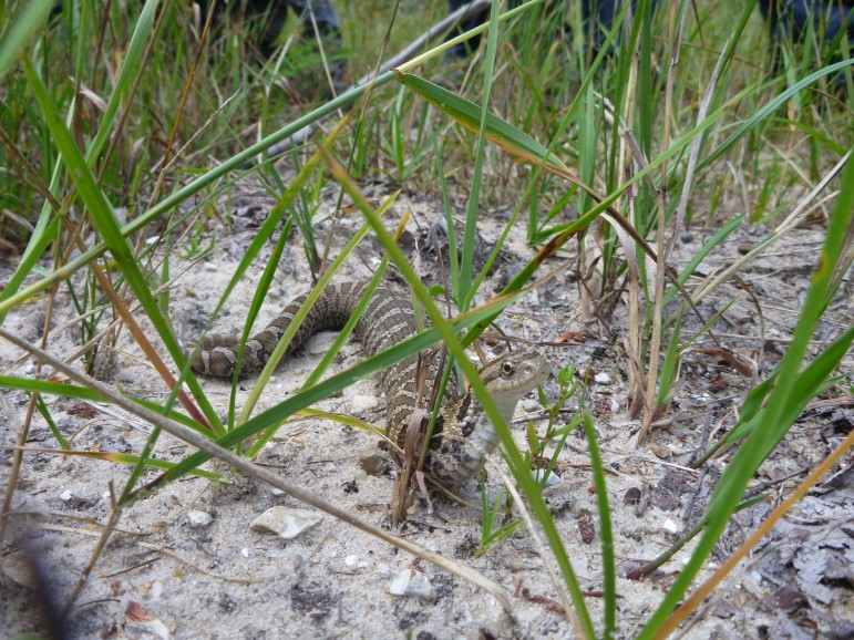 An Eastern Hog-nosed snake after a recent meal (note the swollen body) observed while touring restoration sites Aug. 22 along the North Branch of the Manistee River east of Grayling, Mich. Part of the restoration of the former Flowing Well Trout Farm property involved a hibernaculum for snakes and other reptiles. Image:   Terry S. Heatlie