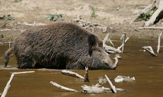 Wild boar in water. Image: Richard Bartz via Wiki Commons