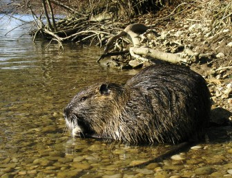 Nutria on the riverbank. Image: Peter Milosevic via Wiki Commons