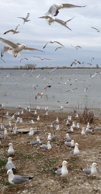 The sounds of the island's gulls are heard for miles. Image: Brian Bienkowski