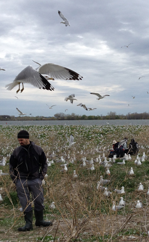 Jonathan Verreault oversees a team of graduate students collecting data on the Deslauriers Island gulls' exposure to flame retardants. Image: Brian Bienkowski