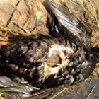 A dead white-winged scoter on the shores of Lake Michigan apparently died from botulism. Image: Kayla Rizzo