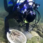Diver setting trout egg traps