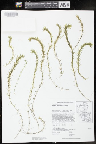 Digitized Hydrilla