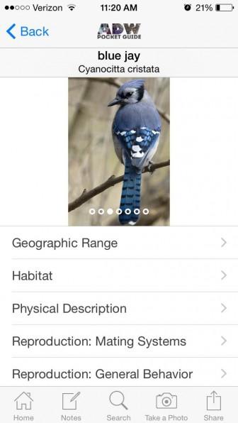 Blue Jay. Image: Victoria Laza
