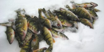 Four perch on ice