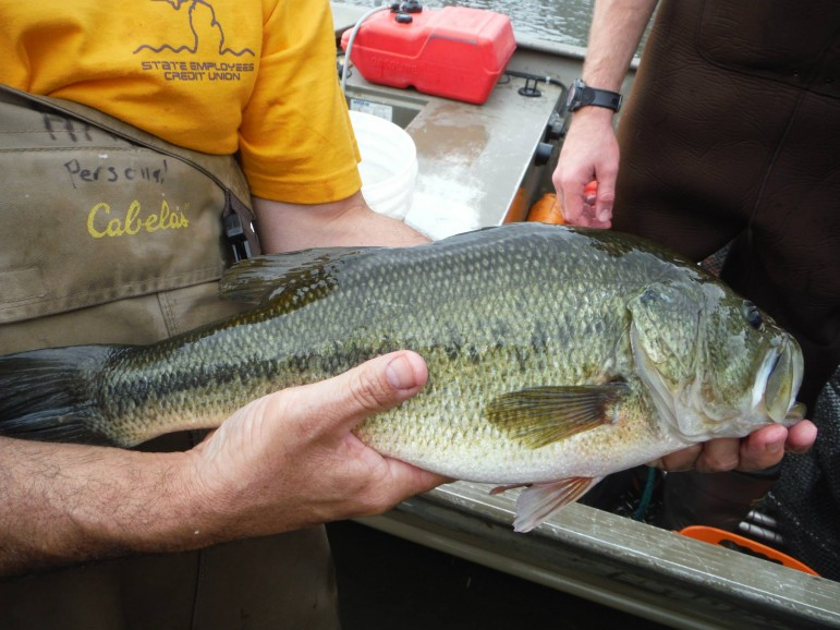 A small mouth bass caught by Michigan State University fisheries and wildlife students in the Red Cedar River. Image: Aaron Aguirre.