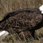 It is unclear what, if anything, the flame retardants contaminating Michigan's bald eagles might mean for their health.