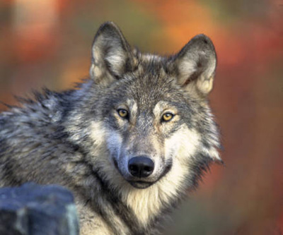 Gray Wolf Image: Fish and Wildlife Service