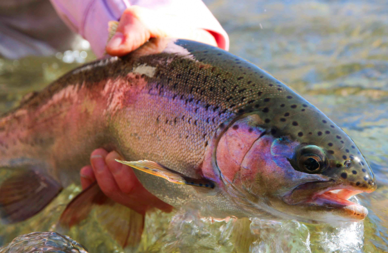 Rainbow trout are silver with a pink stripe running from head to tail. Image: Flickr.