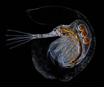 A single Holopedium with its jelly coating.Image: Ian Gardiner / E-Fauna BC