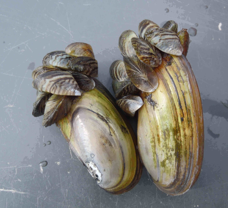 Zebra and quagga mussels are both invasive species found in Green Bay. Image: Wisconsin DNR