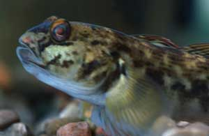 Adult round gobies eat quagga mussels and may reintroduce PCBs to predatory fish. Image: Wisconsin DNR