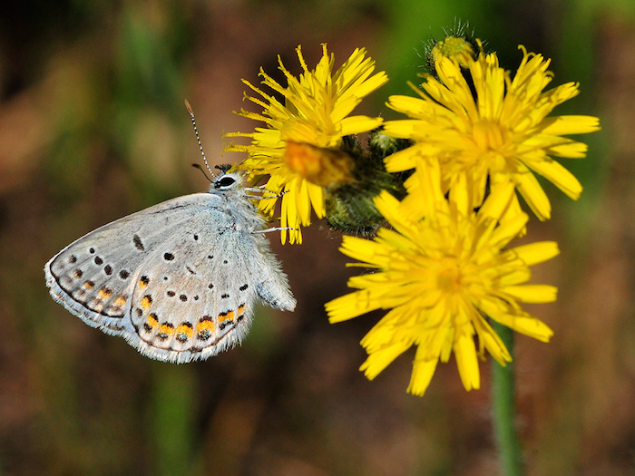 The Karner blue lives in oak savannas and pine barren ecosystems from eastern Minnesota and eastward to the Atlantic seaboard . Image: USFWS Midwest