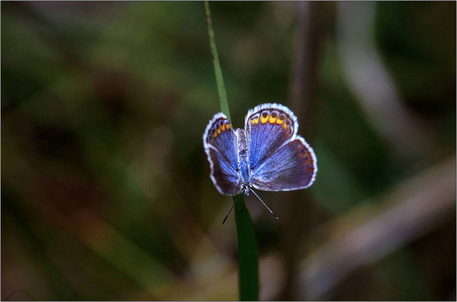 Karner Blue. Image: USFWS