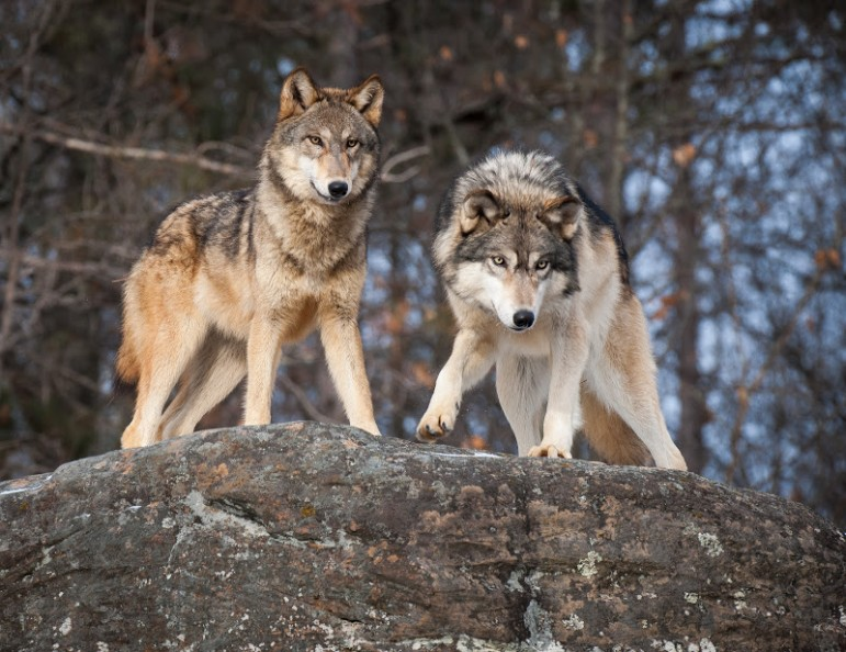 Grey wolves (Canis lupus), can maintain an average territory of about 40 to 50 square miles. Image: Flickr.