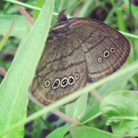 The Mitchell's Satyr butterfly Credit: Ashley Wick