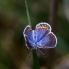 The Karner Blue butterfly.