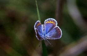 The Karner Blue butterfly.